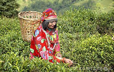 Tea garden?