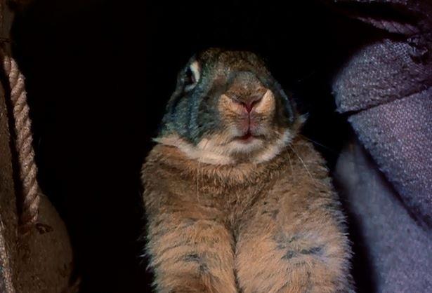 darby rabbit